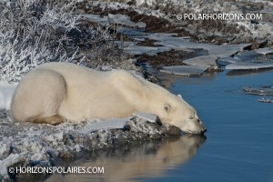Polar bear resting and conserving energy, Churchill, Manitoba