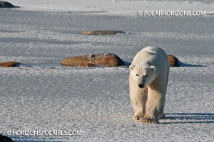 Ours polaire approchant le tundra buggy, Churchill, Manitoba