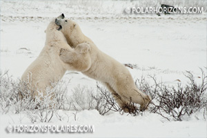 Ours polaires se chamaillant, Churchill, Manitoba