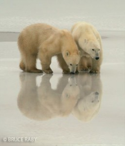 Bruce Raby's photograph of two polar bears taken in Churchill in November 2010.