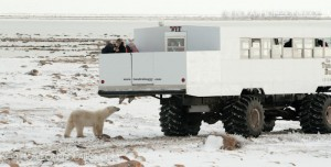 Observing polar bears from the tundra buggy's outer deck, Churchill, Manitoba.