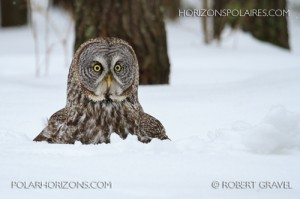 Great Grey Owl(photograph by  Robert Gravel)
