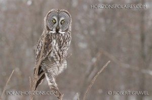Great Grey Owl (photograph by  Robert Gravel)