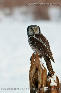 Northern Hawk Owl (photograph by Pierre Carpentier)