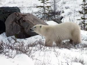 Le premier ours aperçu en route vers le CNSC à Churchill