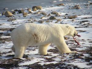 L'ours s'éloignant avec un morceau de sa proie. (c) Colette et Jean-Paul Monchablon