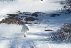 Le renard arctique (c) Colette et Jean-Paul Monchablon.