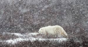 Ours polaire dans la tempête. (c) Colette et Jean-Paul Monchablon